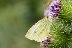 A Green-Veined White butterfly on a Burdock flower. Photos from RSPB Fen Drayton Lakes nature reserve in Cambridgeshire.
