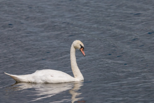 A Mute Swan out for a swim on the choppy waters of Ferry Lagoon. Photos from RSPB Fen Drayton Lakes nature reserve in Cambridgeshire.