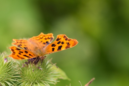 A Comma butterfly on a Burdock flower. Photos from RSPB Fowlmere nature reserve in Cambridgeshire.