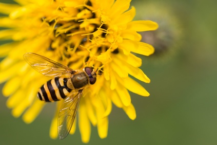 Close up of a hoverfly on a Sow-thistle flower. Photos from RSPB Fowlmere nature reserve in Cambridgeshire.