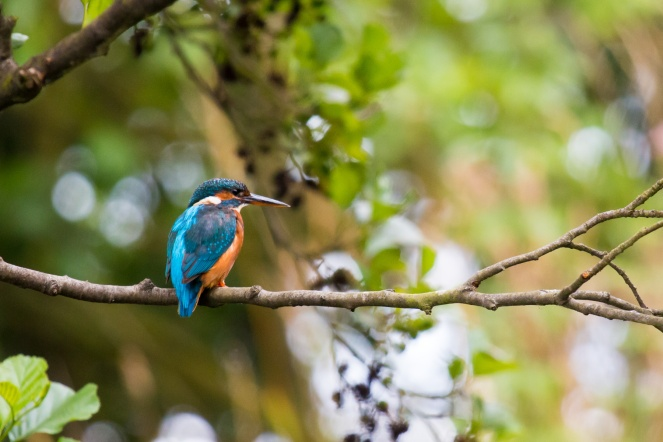 Kingfisher perched on a tree branch. Photos from RSPB Fowlmere nature reserve in Cambridgeshire.