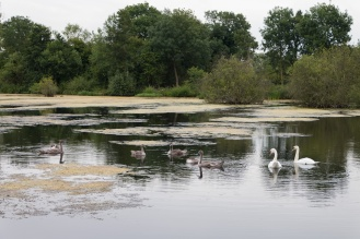 A family of Mute swans out on the lake. Photos from Wildlife Trusts Felmersham Gravel Pits nature reserve in Bedfordshire, UK.