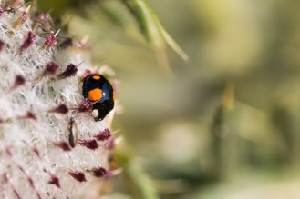 Harlequin ladybird on a Woolly thistle flower head. Photos from Wildlife Trusts Twywell Hills and Dales nature reserve in Northamptonshire, UK.