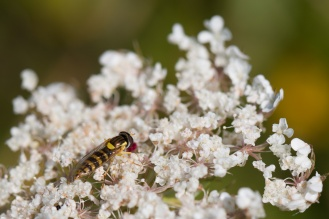 Long hoverfly on a wild carrot flower. Photos from Wildlife Trusts Twywell Hills and Dales nature reserve in Northamptonshire, UK.