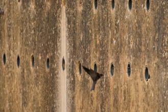 A Sand Martin coming in to land in concrete nest holes. Photos from an early morning walk round Summer Leys nature reserve in Northamptonshire, UK.