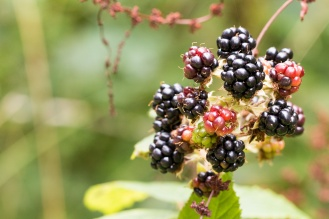 Blackberries starting to ripen on the brambles. Pictures from a walk round most of the Lyveden Way.