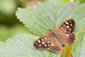 Speckled wood butterfly sunbathing. Pictures from a walk round most of the Lyveden Way.