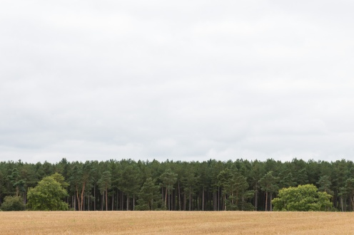 The tall straight trunks of a forest of pine trees. Pictures from a walk round most of the Lyveden Way.