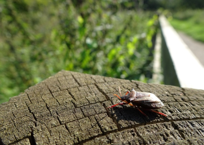 A Spiked shieldbug (Picromerus bidens) on a fence post. Photos from a morning walk round Summer Leys nature reserve in Northamptonshire.