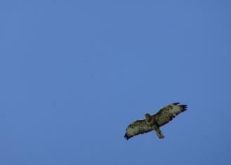 Buzzard circling over the lakes. Photos from a morning walk round Summer Leys nature reserve in Northamptonshire.
