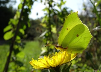 Brimstone butterfly catching the sunlight on a Bristly Oxtongue flower. Photos from a morning walk round Summer Leys nature reserve in Northamptonshire.