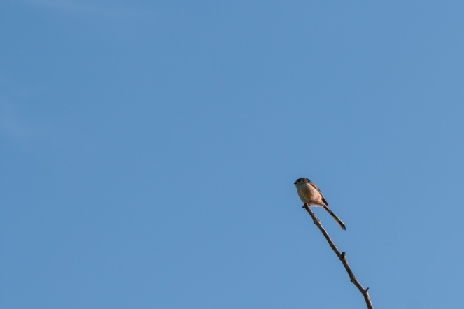 A Log-tailed Tit perched high up on the top of a dead tree. Saw quite a few of these today.