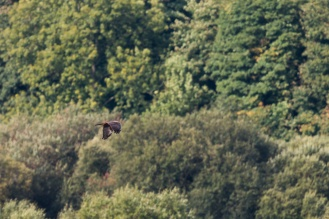 Marsh Harrier over the reed beds, seen from Lower Hide. Photos from a trip to RSPB Leighton Moss nature reserve in Lancashire.