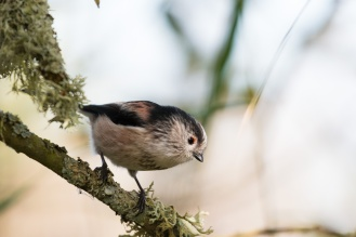 Long-tailed Tit perched in a mossy tree. Photos from a trip to RSPB Leighton Moss nature reserve in Lancashire.