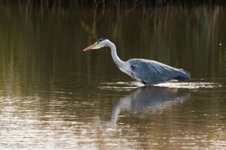Heron hunting in the open water between the reed beds. Photos from a trip to RSPB Leighton Moss nature reserve in Lancashire.