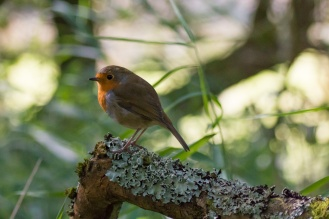Another robin, perched on a lichen covered branch. Photos from a trip to RSPB Leighton Moss nature reserve in Lancashire.