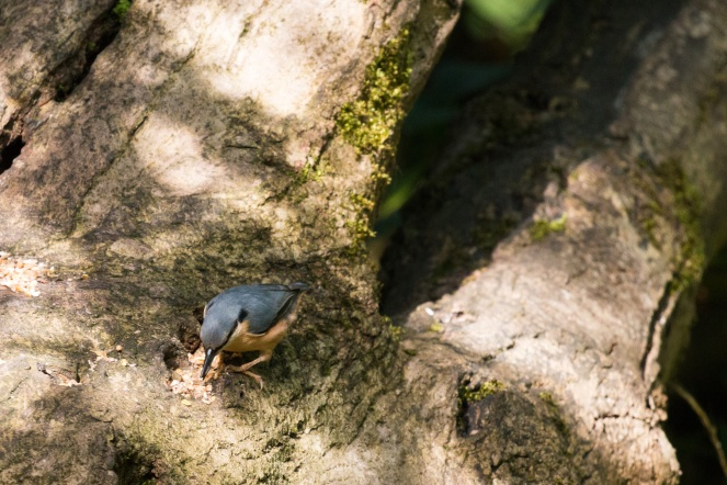 A Nuthatch eating seed that had been put out on this tree trunk. Photos from a trip to RSPB Leighton Moss nature reserve in Lancashire.