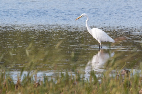 A Great White Egret hunting for food out in the water. Photos from a trip to RSPB Leighton Moss nature reserve in Lancashire.
