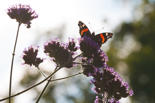 Red Admiral butterfly on verbena bonariensis, nicely backlit by the sun. Photos from a trip to RSPB Leighton Moss nature reserve in Lancashire.