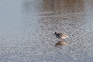 A redshank wading through shallow waters near the Eric Morecambe hide. Photos from a trip to RSPB Leighton Moss nature reserve in Lancashire.