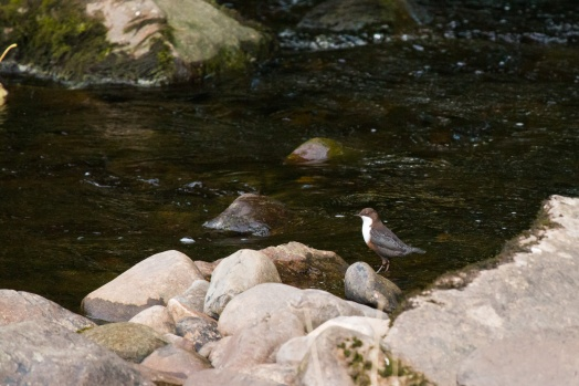 Surprise morning visitor to the Ribble in the form of a Dipper.
