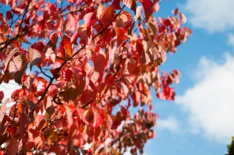 Bright red sunlit autumn leaves against the blue sky. Photos from RHS Harlow Carr in North Yorkshire.