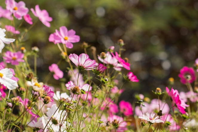 Cosmos flowers looking lovely in the sun. Photos from RHS Harlow Carr in North Yorkshire.