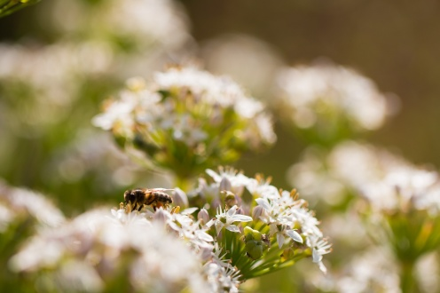 A honey bee in the gardens, helping to polinate the autumn flowers. Photos from RHS Harlow Carr in North Yorkshire.
