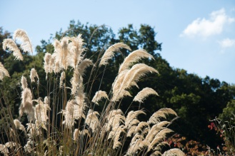 Pampas grass flowers catching the sunlight. Photos from RHS Harlow Carr in North Yorkshire.