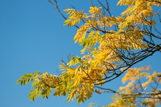 Bright yellow leaves contrasting against the blue sky. Photos from RHS Harlow Carr in North Yorkshire.