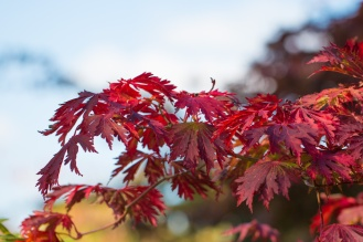 Acer leaves turning bright red for autumn. Photos from RHS Harlow Carr in North Yorkshire.