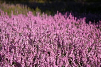 A carper of pink heather in the afternoon sun. Photos from RHS Harlow Carr in North Yorkshire.