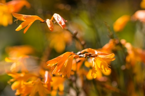 Bright and sunny, orange Crocosmia flowers. Photos from RHS Harlow Carr in North Yorkshire.