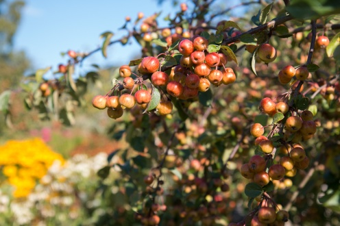 Little apples ripening up nicely. Photos from RHS Harlow Carr in North Yorkshire.