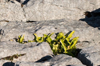 A Hart's Tongue fern growing in a grike, plants always find a way to grow. Photos taken at National Trust Malham Cove.
