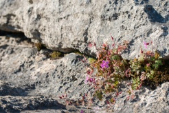 Geranium 'Herb Robert' growing in soil accumulated in a horizontal crack through one of the rocks. Photos taken at National Trust Malham Cove.