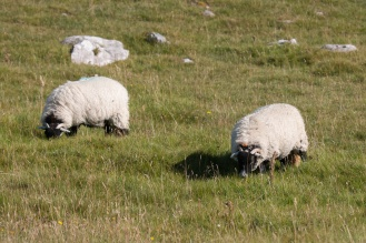 Sheep grazing the grassland around the tarn. Photos from Malham Tarn in North Yorkshire.