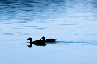 A pair of mallard ducks out on the water, silhouetted against the bright reflection of the sky. Photos from Malham Tarn in North Yorkshire.