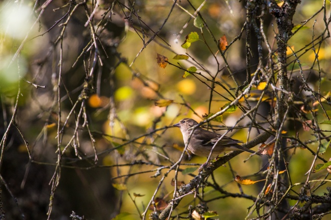 A chaffinch perched in a tree at Tarn Moss, amongst the autumn leaves. Photos from Malham Tarn in North Yorkshire.