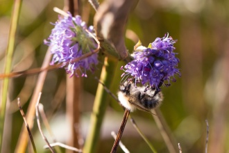 Common carder bee on a Devil's-bit Scabious flower. Photos from Malham Tarn in North Yorkshire.