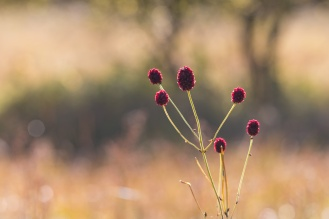Great Burnet flowers catching the afternoon sunlight. Photos from Malham Tarn in North Yorkshire.