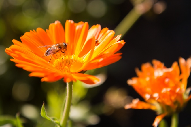 Hoverfly on a Calendula flower in the Fountains Hall herb garden. Photos from National Trust Fountains Abbey and Studley Royal Water Garden, in North Yorkshire.