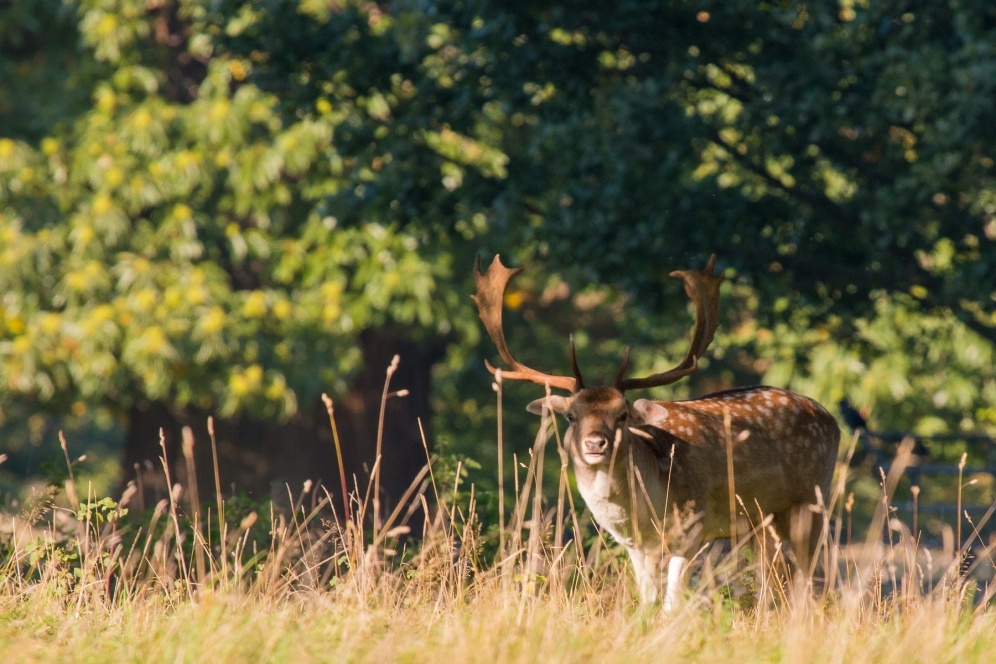 A Fallow Deer stag in the late afternoon sun in Studley Royal Deer Park. Photos from National Trust Fountains Abbey and Studley Royal Water Garden, in North Yorkshire.