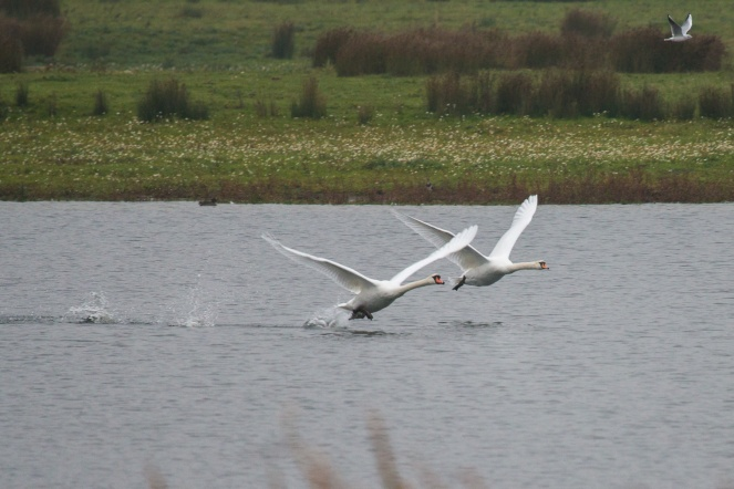 Mute swans taking off from one of the lakes. Photos from Wildlife Trusts Summer Leys nature reserve in Northamptonshire, UK.