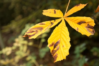 Bright yellow leaf of a horse chestnut tree. Photos from Wildlife Trusts Summer Leys nature reserve in Northamptonshire, UK.