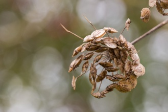 Cow parsley seed head. Photos from Wildlife Trusts Summer Leys nature reserve in Northamptonshire, UK.