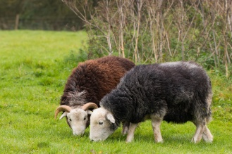 Pair of sheep grazing on the reserve. Photos from Wildlife Trusts Summer Leys nature reserve in Northamptonshire, UK.