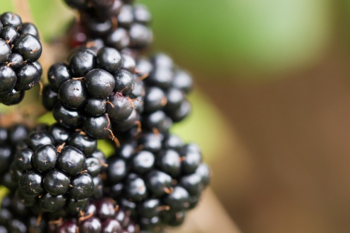 The iconic fruit of autumn. Photos from Wildlife Trusts Summer Leys nature reserve in Northamptonshire, UK.