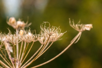The structure of an umbellifer flower after all the seeds have blown away. Photos from Wildlife Trusts Titchmarsh Nature Reserve in Northamptonshire, UK.