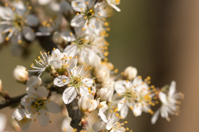 The lovely white blossom of Blackthorn catching the sun. Photos from Wildlife Trusts BCN Titchmarsh Nature Reserve.